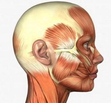 50 músculos faciales
